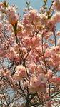 2020桜.jpg