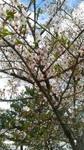 桜04231.jpg