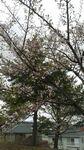 桜04232.jpg